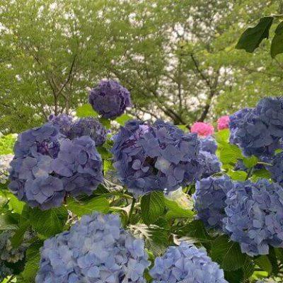 ★紫陽花★